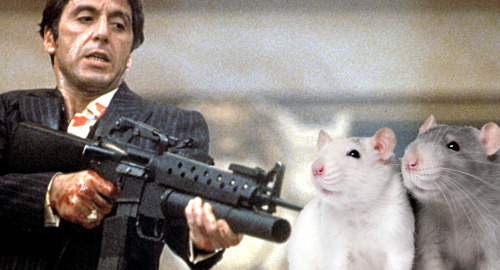 cocaine-rats-gambling-risk
